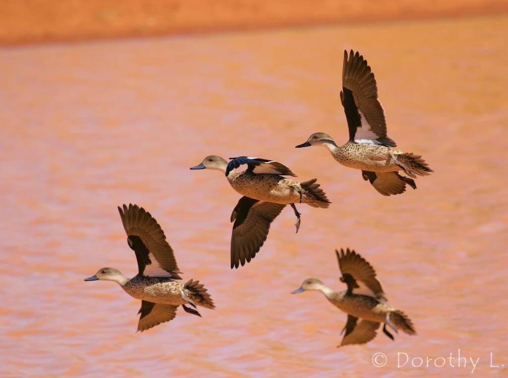 Grey Teals (Anas gracilis) in flight