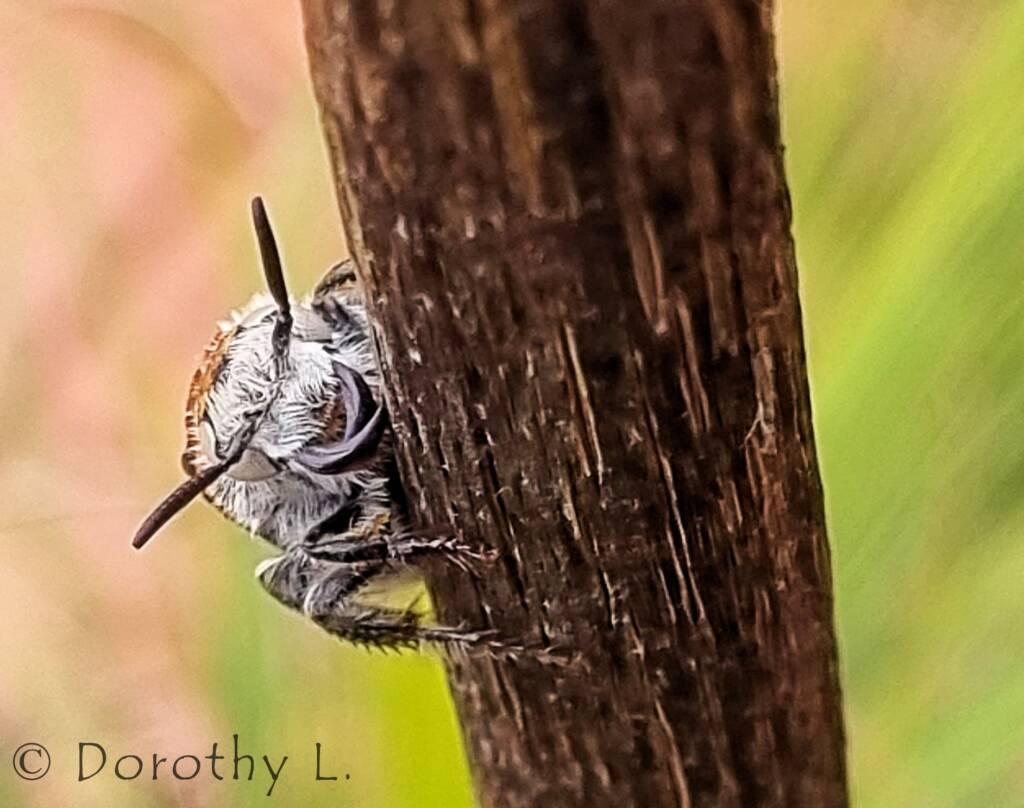 Yellow Hairy Flower Wasp (Radumeris radula)
