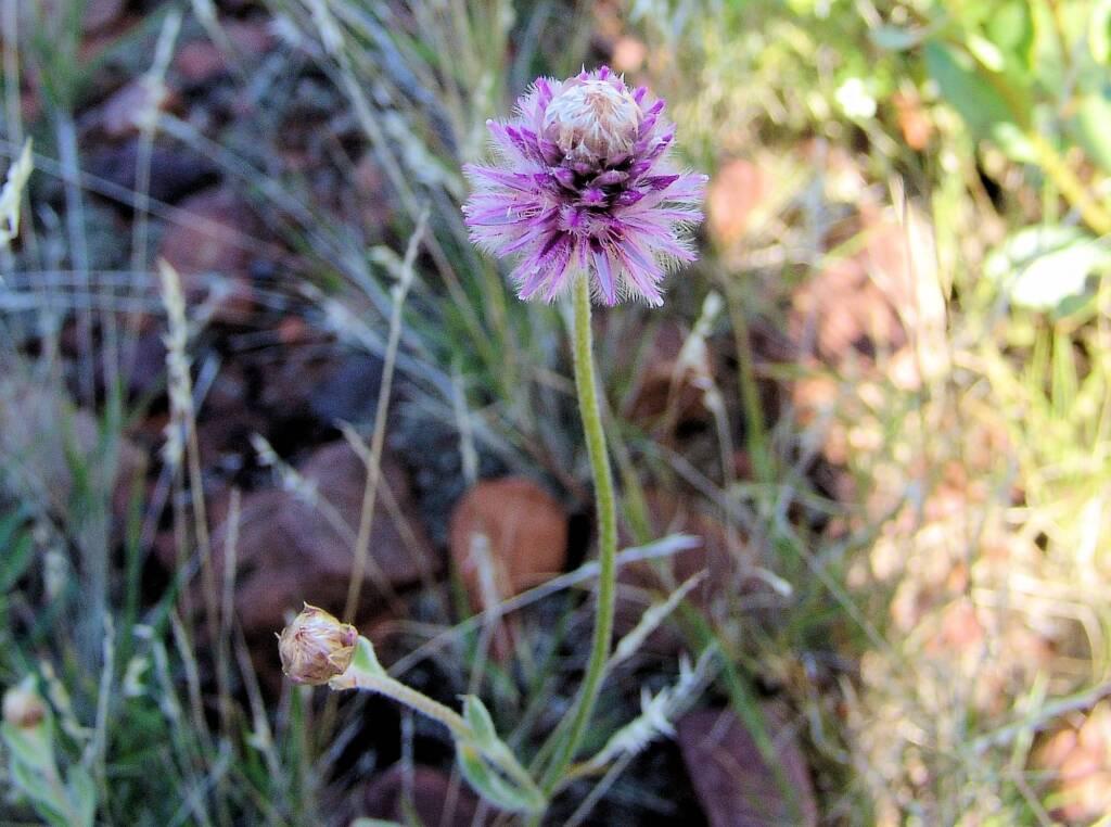 Hairy Mulla Mulla (Ptilotus helipteroides)