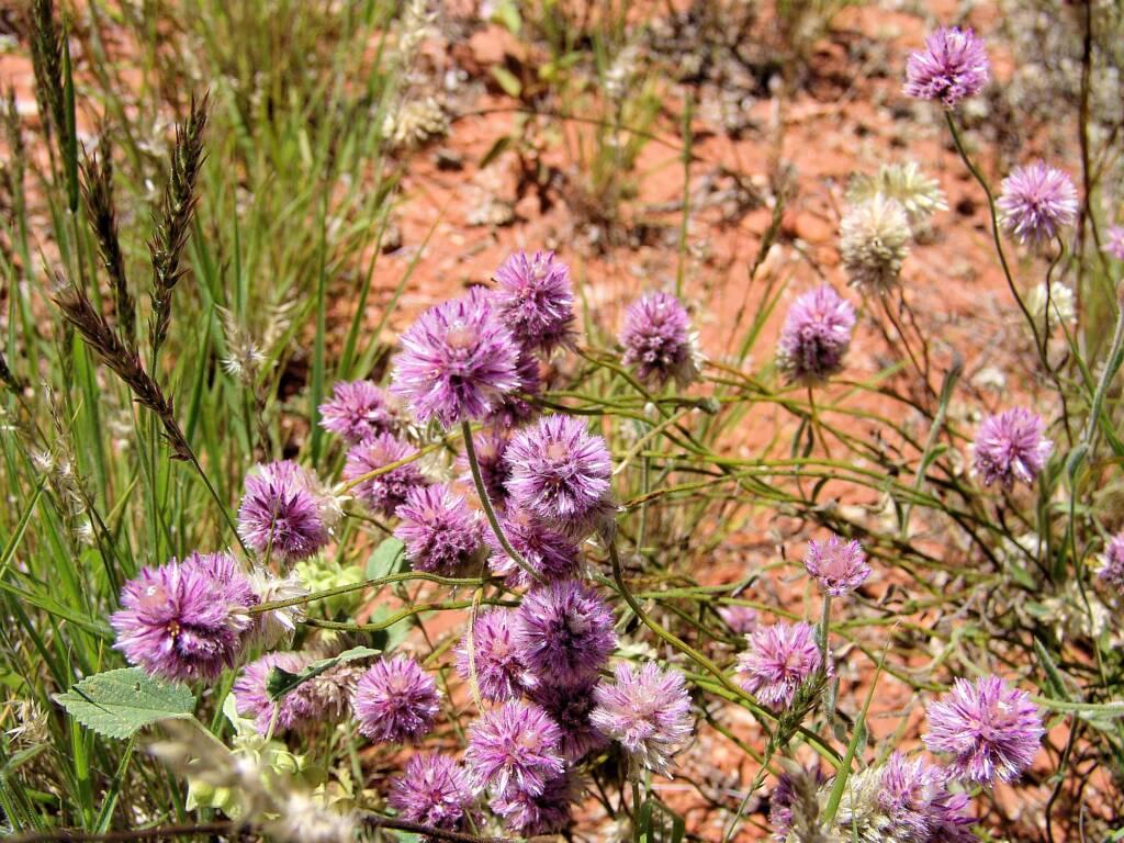 Hairy Mulla Mulla (Ptilotus helipteroides), Owen Springs, NT