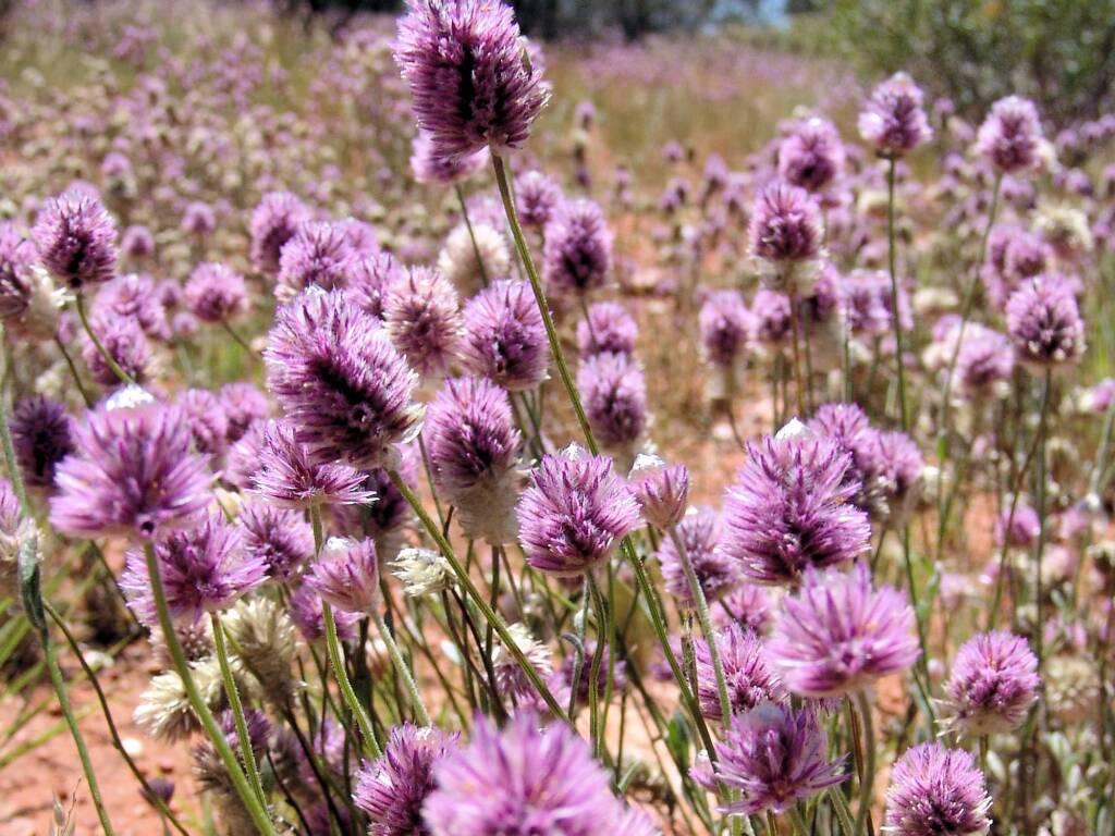 Mass flowering of Hairy Mulla Mulla (Ptilotus helipteroides), Owen Springs, NT