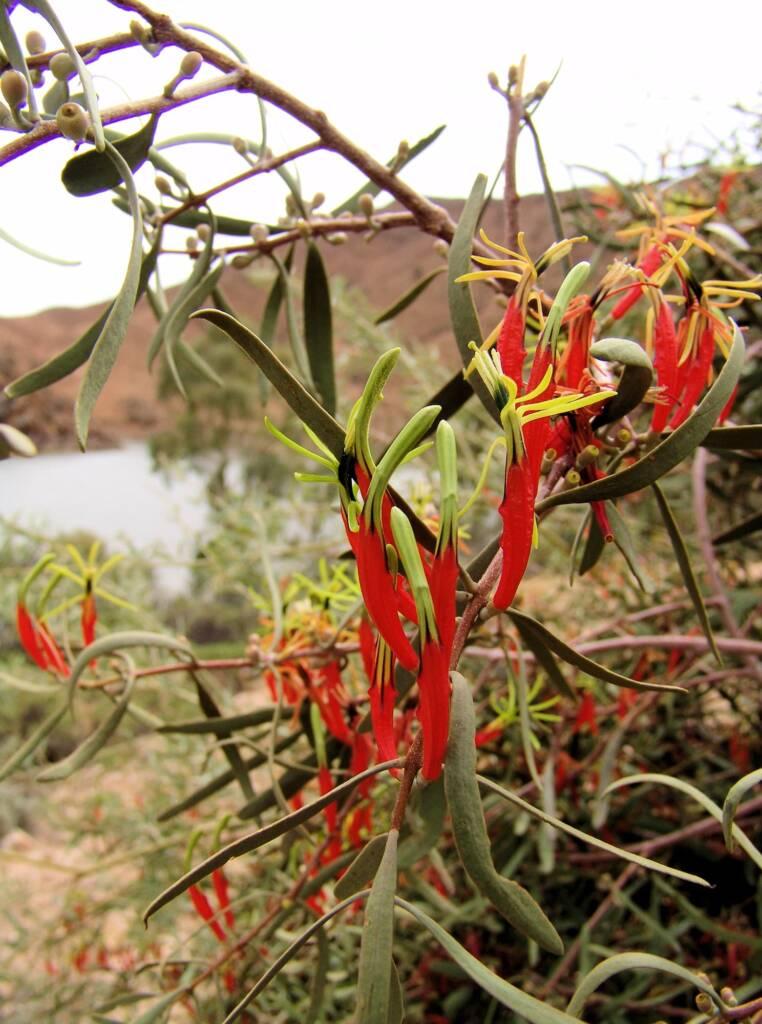 Harelequin Mistletoe (Lysiana exocarpi)
