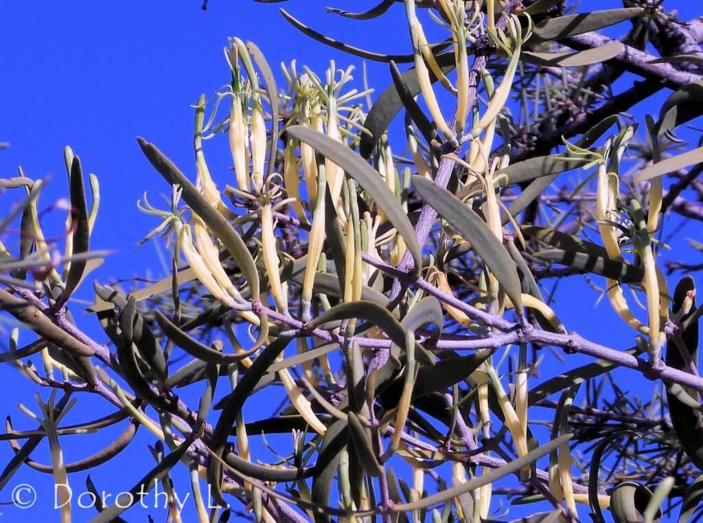 Harlequin Mistletoe Yellow Form (Lysiana exocarpi ssp. exocarpi), Central Australia