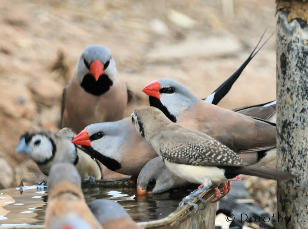 Longtail Finches and Double-barred Finches, south of Larrimah, NT