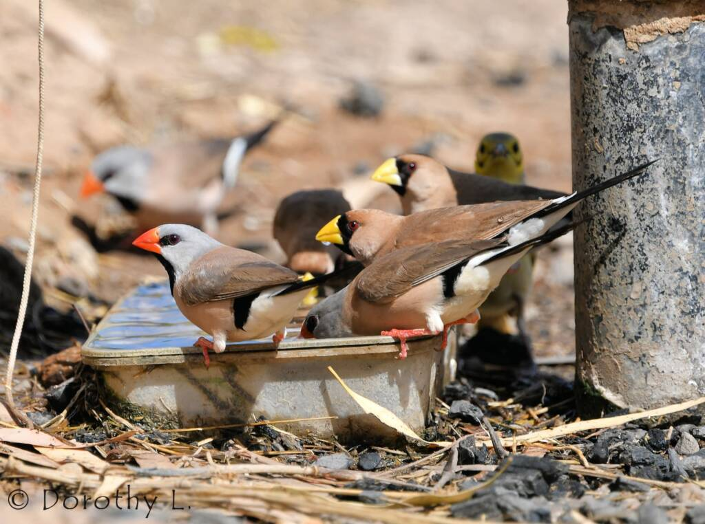 Long-tailed Finches and, Masked Finches, south of Larrimah, NT