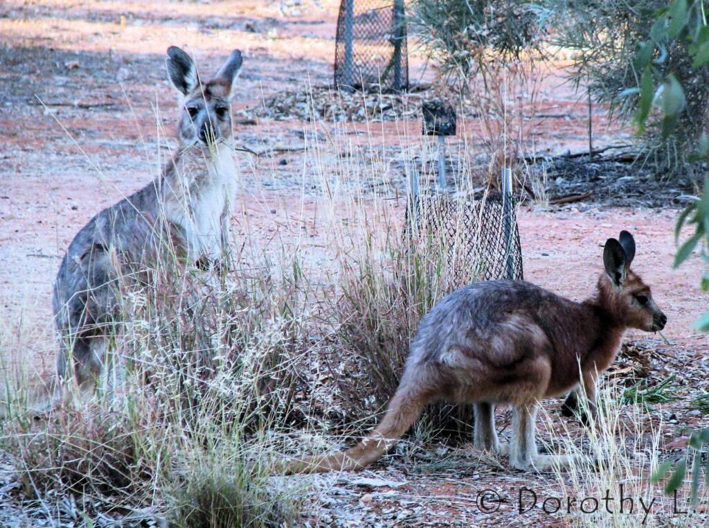 Hills Wallaroo, Olive Pink Botanic Garden, NT