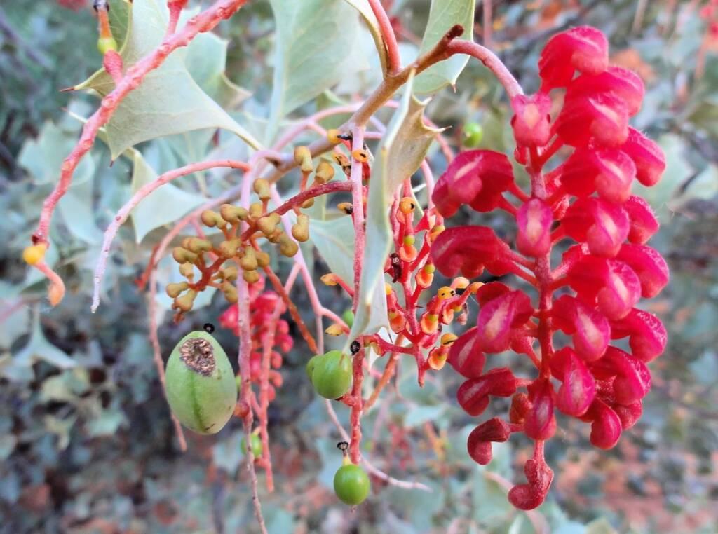 Holly Grevillea (Grevillea wickhamii), Kings Canyon