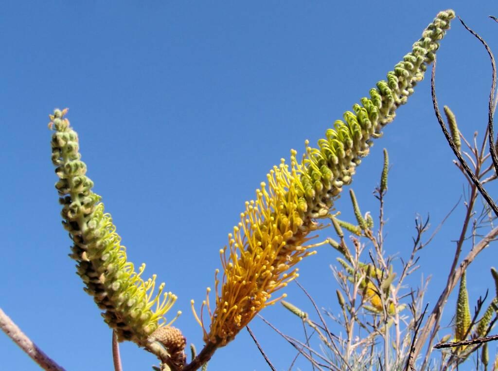 Honey Grevillea (Grevillea eriostachya), Alice Springs Desert Park