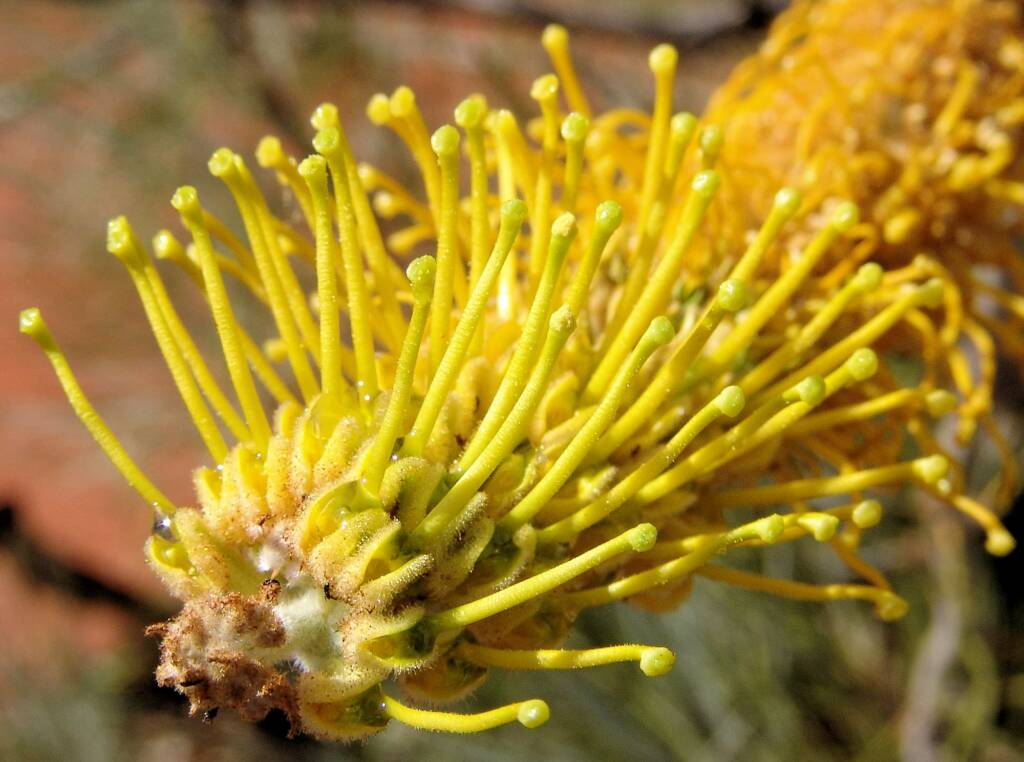 Honey Grevillea (Grevillea eriostachya)