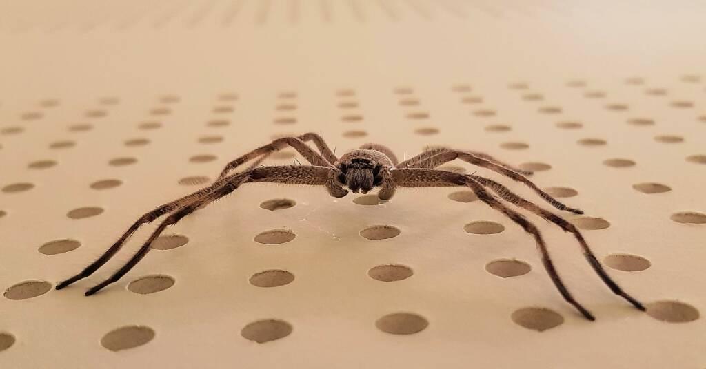 Huntsman Spider, Alice Springs, NT