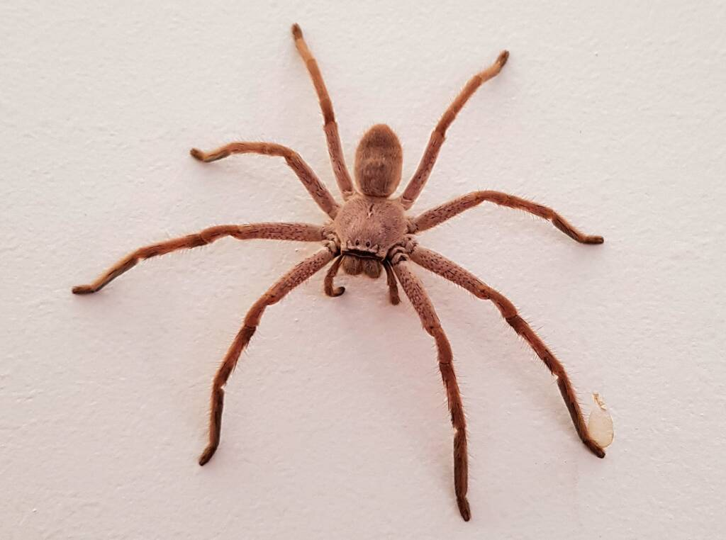 Huntsman Spider, Alice Springs, NT