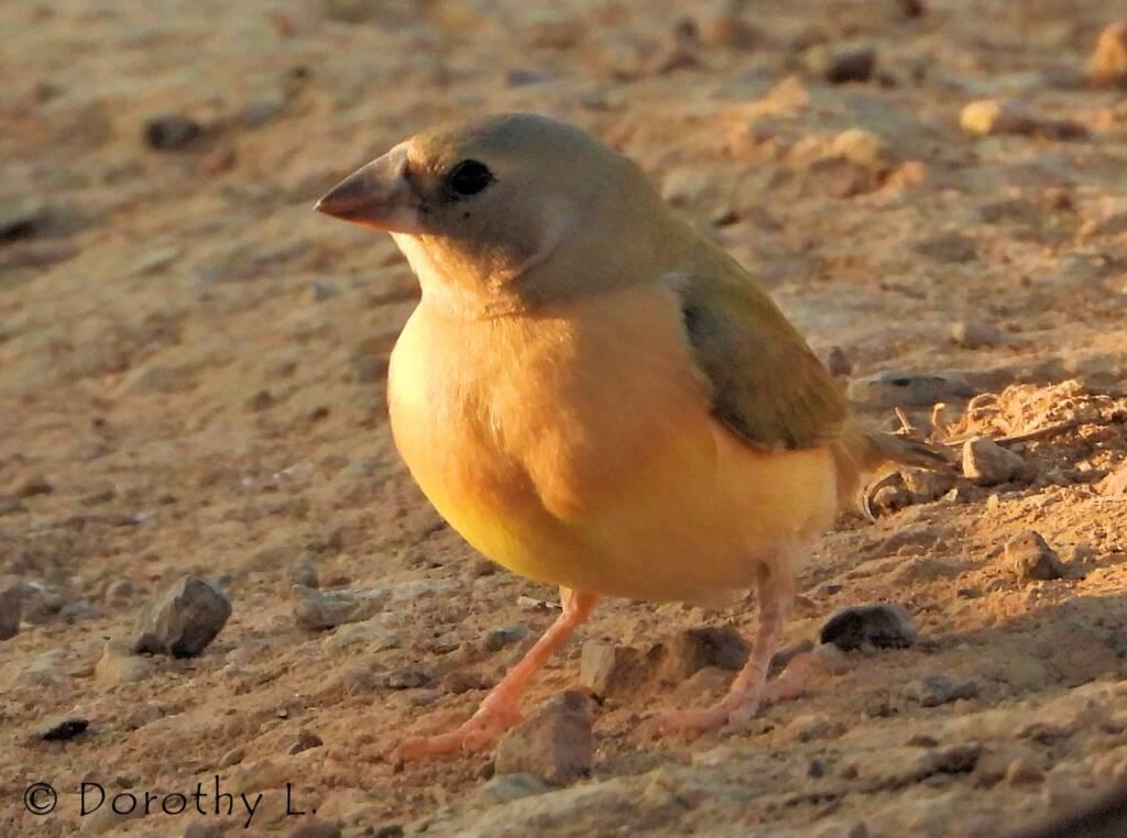 Immature Gouldian Finch (Chloebia gouldiae)