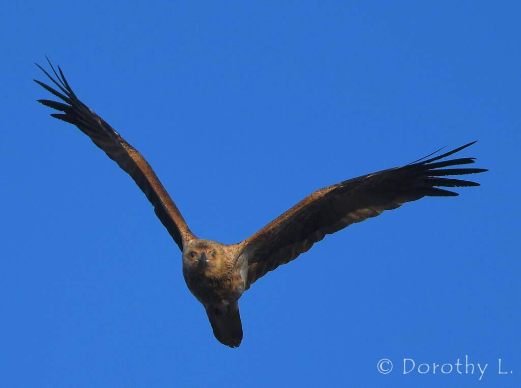 Immature Whistling Kite (Haliastur sphenurus)