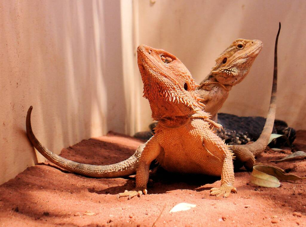 Inland Bearded Dragons (Pogona vitticeps), Alice Springs Reptile Centre, NT