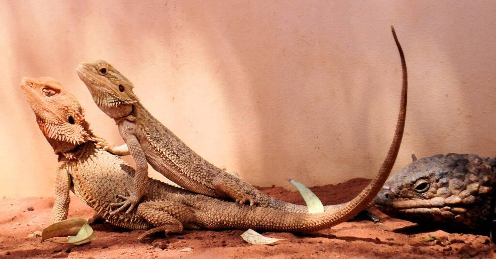 Inland Bearded Dragons (Pogona vitticeps), Alice Springs Reptile Centre, NT