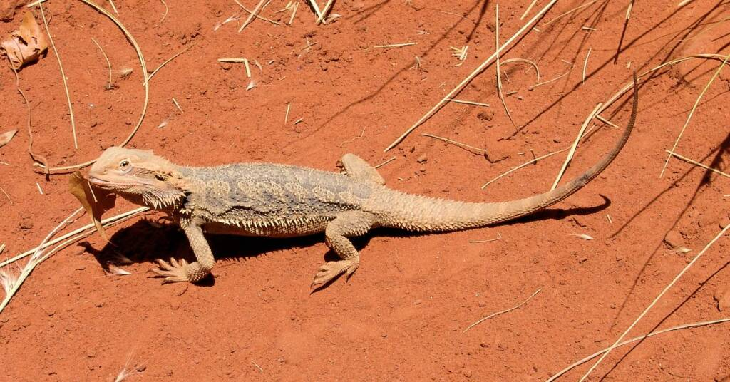 Inland Bearded Dragon / Central Bearded Dragon (Pogona vitticeps)