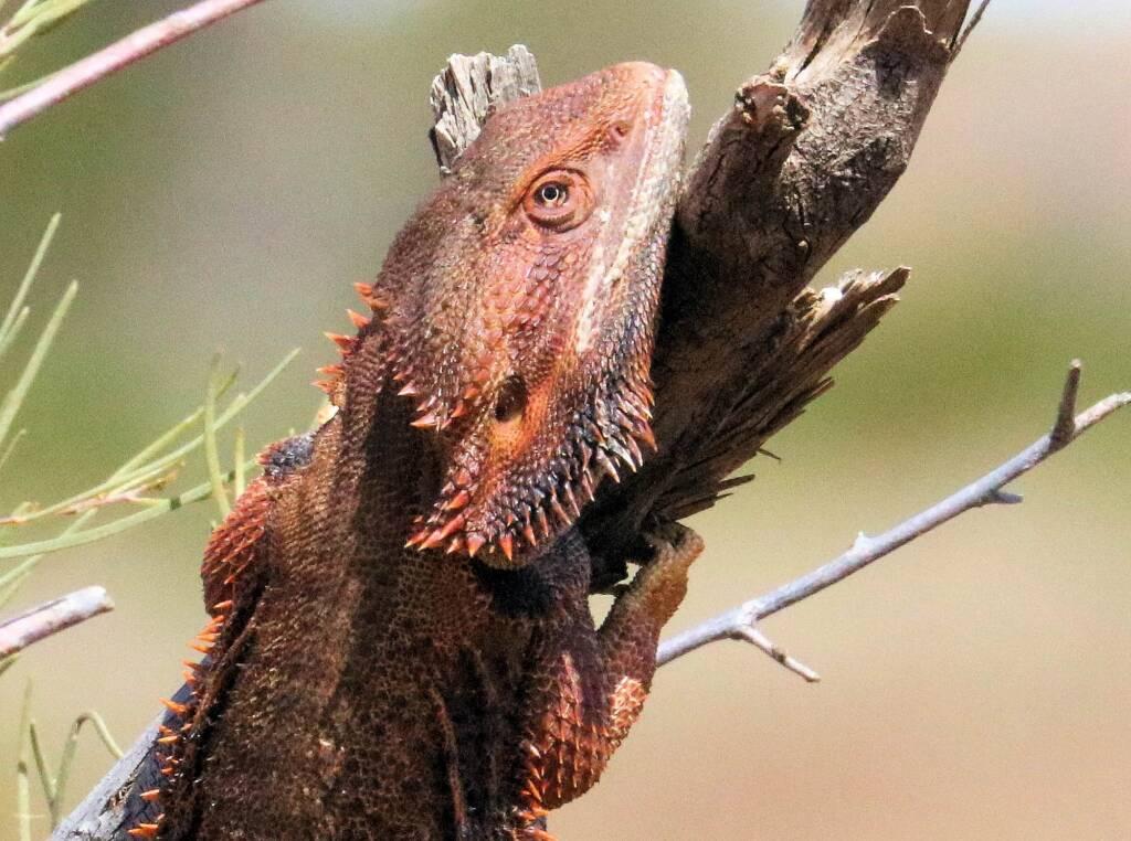 Inland Bearded Dragon (Pogona vitticeps), Binns Track, NT