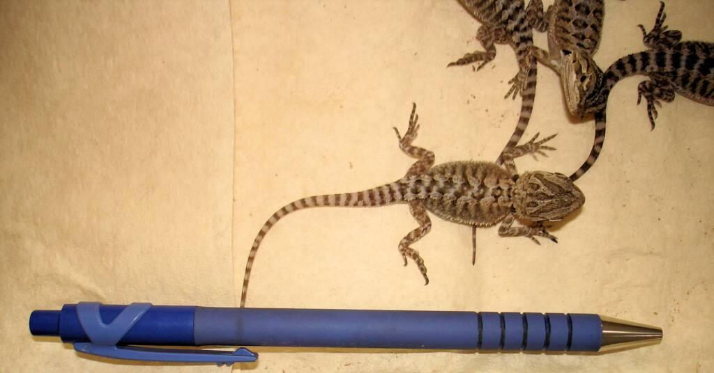 Juvenile Inland Bearded Dragon, Alice Springs Reptile Centre, NT