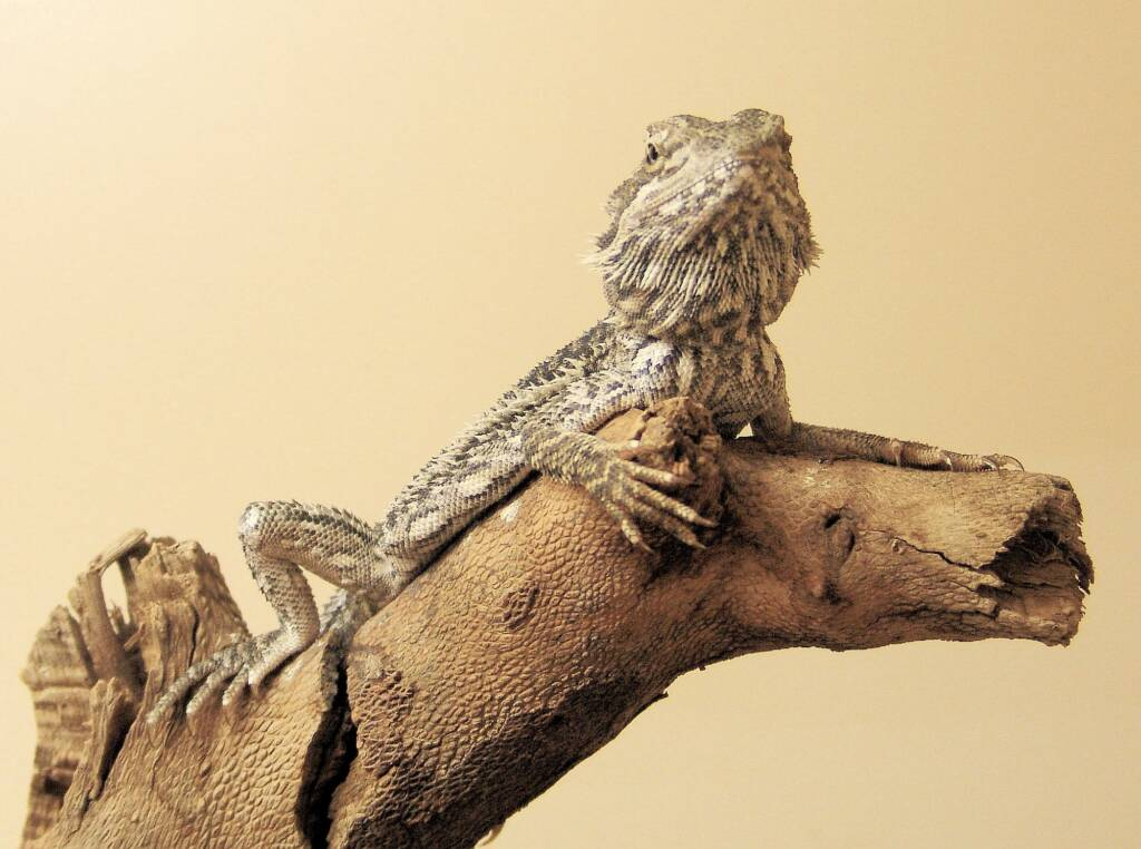 Young Adult Inland Bearded Dragon, Alice Springs Reptile Centre, NT