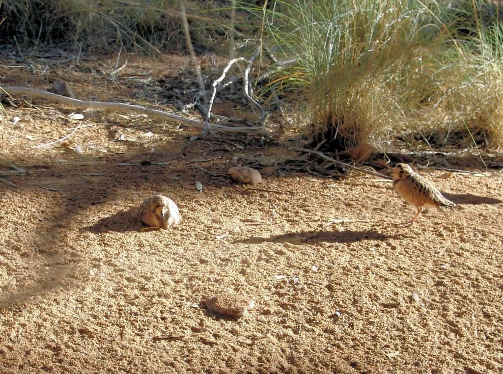 Inland Dotterel (Peltohyas australis), Alice Springs Desert Park