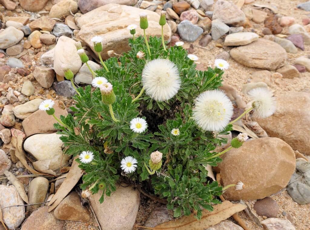 Silverton Daisy (Ixiochlamys cuneifolia)