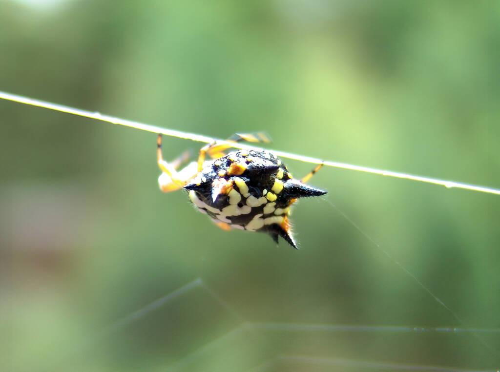 Jewel Spider (Astracantha minax) near Goulburn, NSW