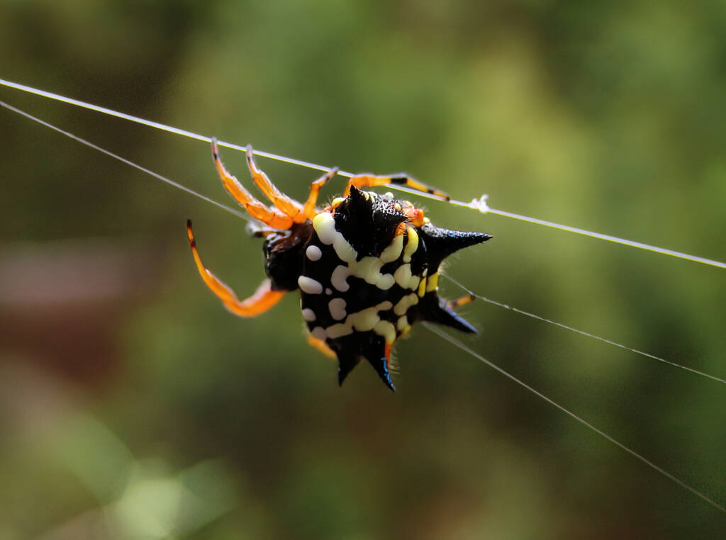 Jewel Spider (Astracantha minax) near Goulburn, NSW