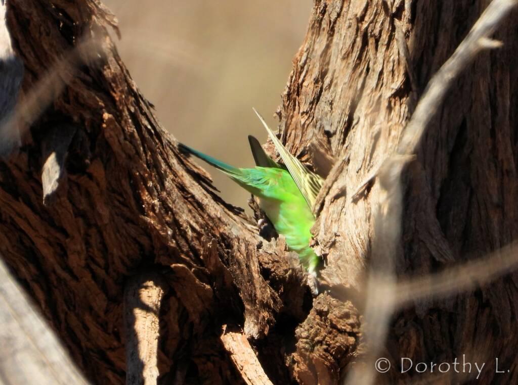 Juvenile Budgerigar (Melopsittacus undulatus)