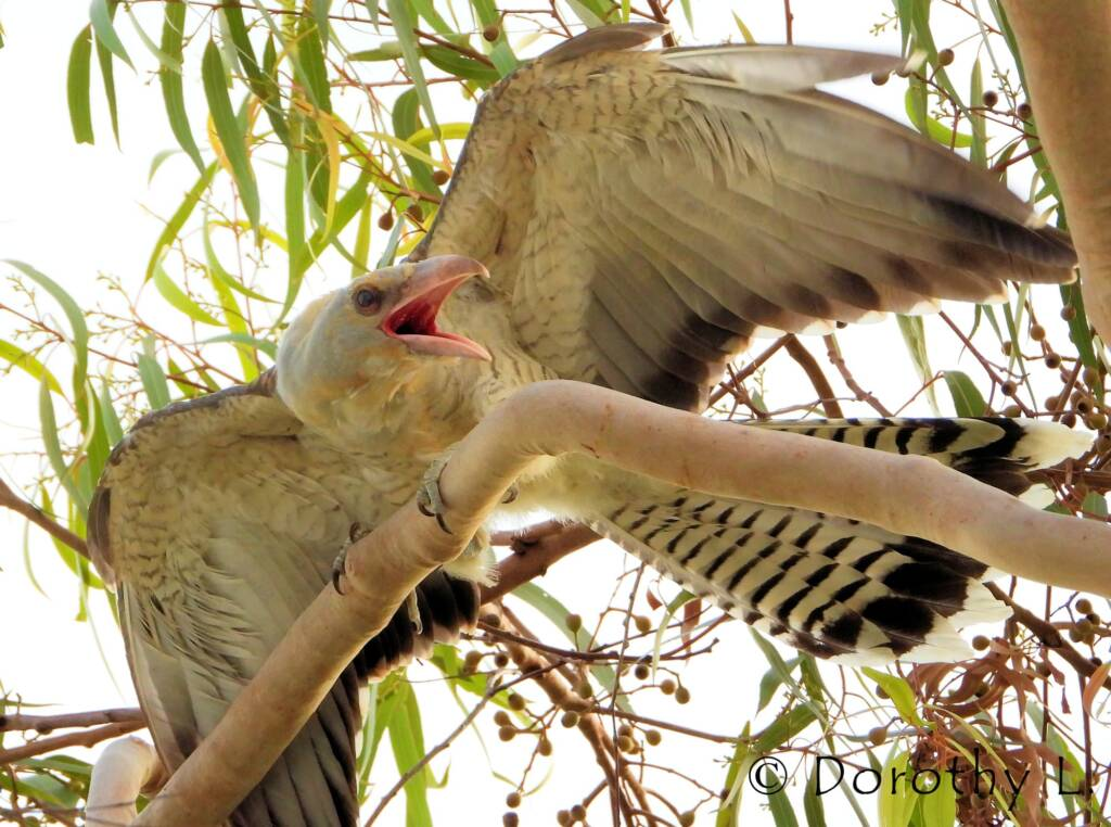 Juvenile Channel-billed Cuckoo calling to be fed