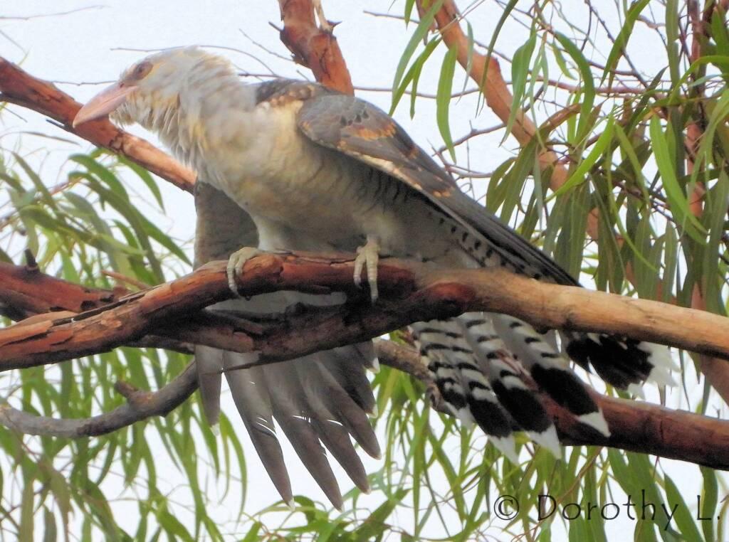 Juvenile Channel-billed Cuckoo