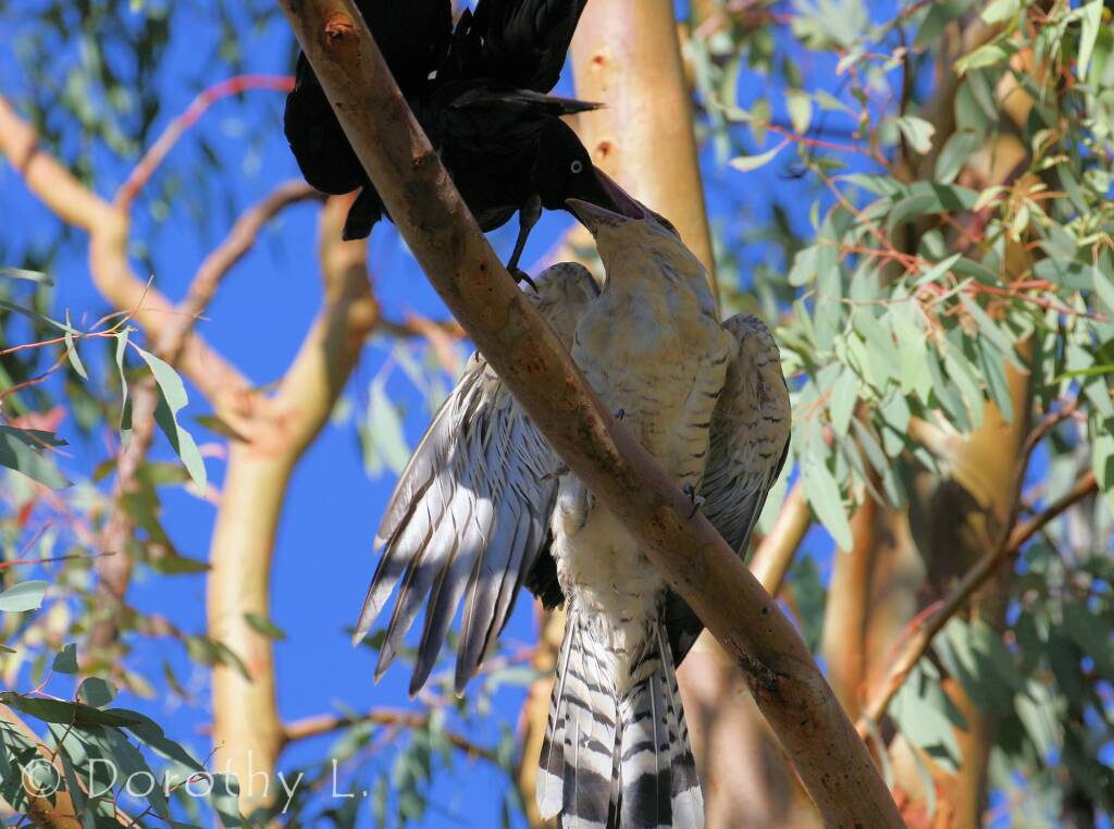 Juvenile Channel-billed Cuckoo with Torresian Crow
