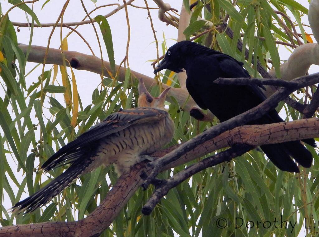 Juvenile Channel-billed Cuckoo with foster parent Torresian Crow