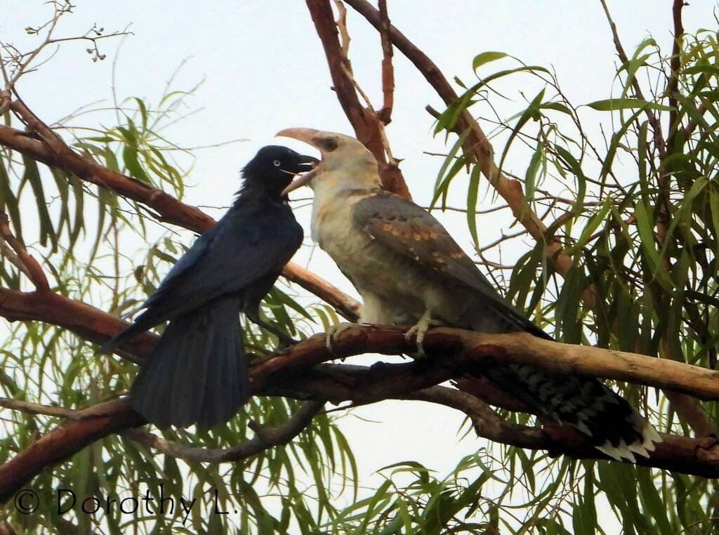 Channel-billed Cuckoo with foster parent Torresian Crow