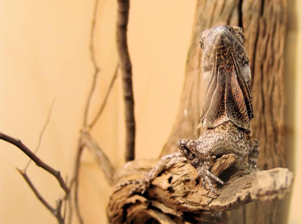 Juvenile Frilled Neck Lizard (Chlamydosaurus kingii)