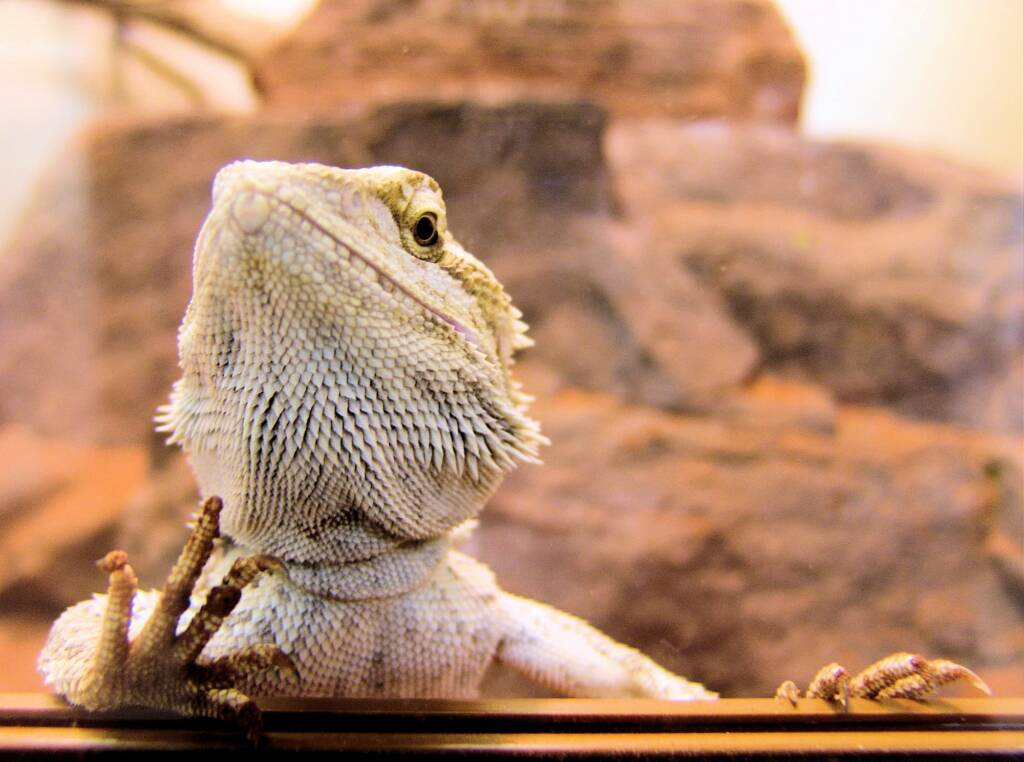 Juvenile Inland Bearded Dragon (Pogona vitticeps), Alice Springs Reptile Centre, NT