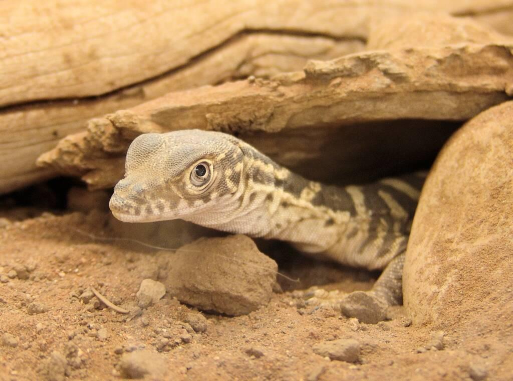 Juvenile Spencer's Goanna (Varanus spenceri), Alice Springs Reptile Centre