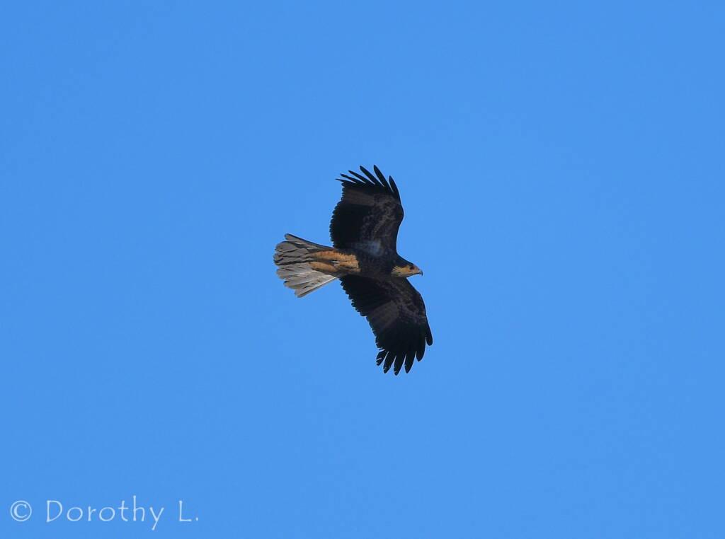 Juvenile Whistling Kite (Haliastur sphenurus)