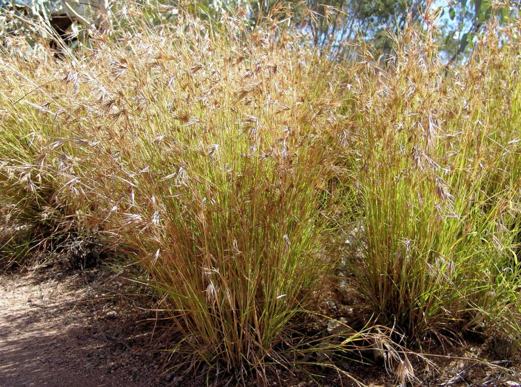 Kangaroo Grass (Themeda triandra), Alice Springs Desert Park