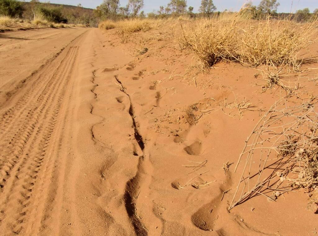 Kangaroo tracks in the soft sand, Owen Springs Reserve, NT
