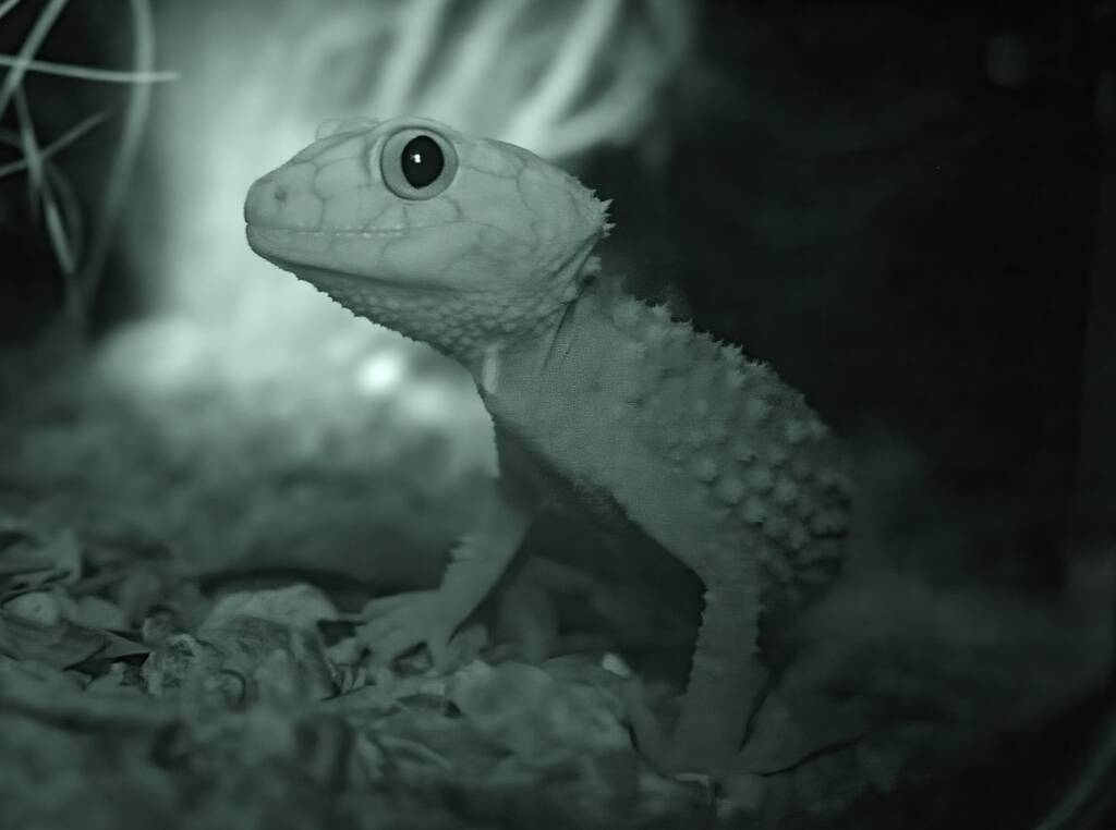 Knob-tailed Gecko (Nephrurus amyae), Nocturnal House, Alice Springs Desert Park, NT