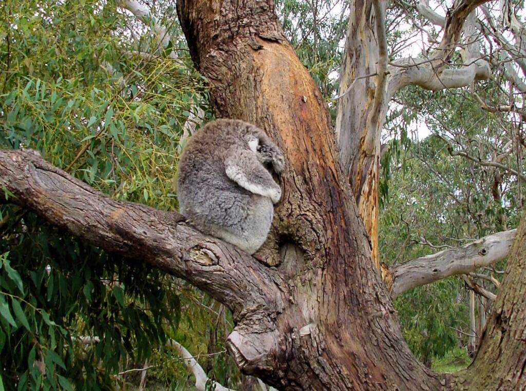 Koala Conservation Reserve, Phillip Island, VIC