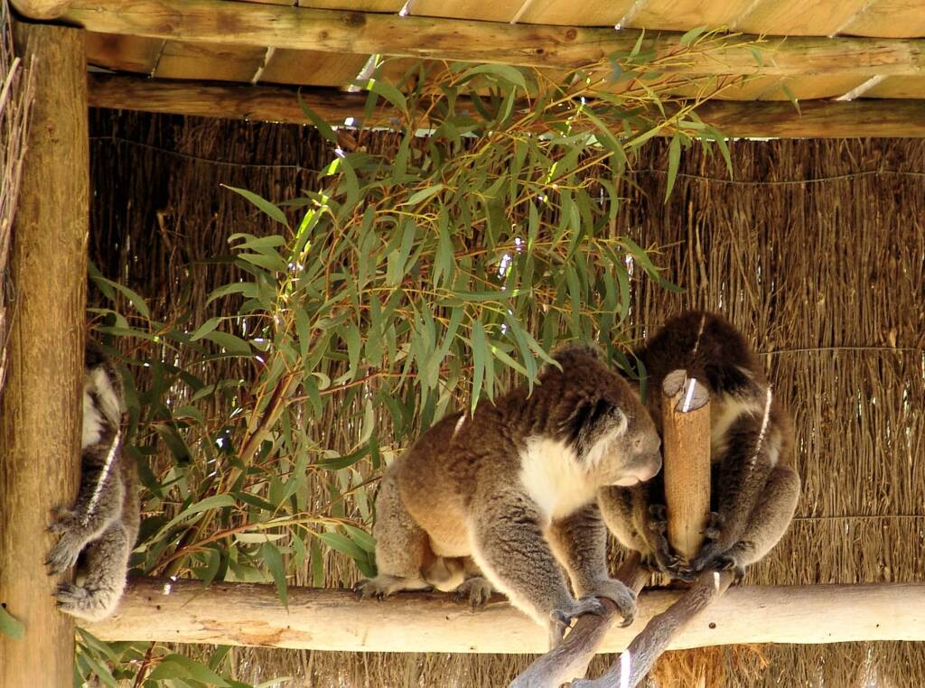 Koalas, Kyabram Fauna Park, VIC