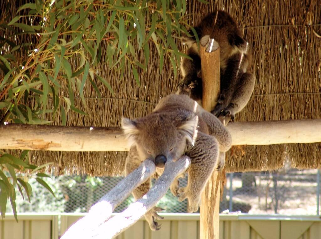 Sleeping koalas, Kyabram Fauna Park, VIC