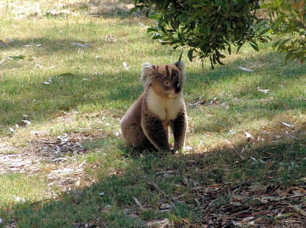 Koala, Kyabram Fauna Park, VIC