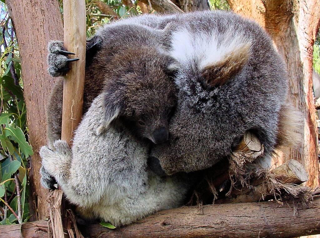 Juvenile koala with mother, Tasmania