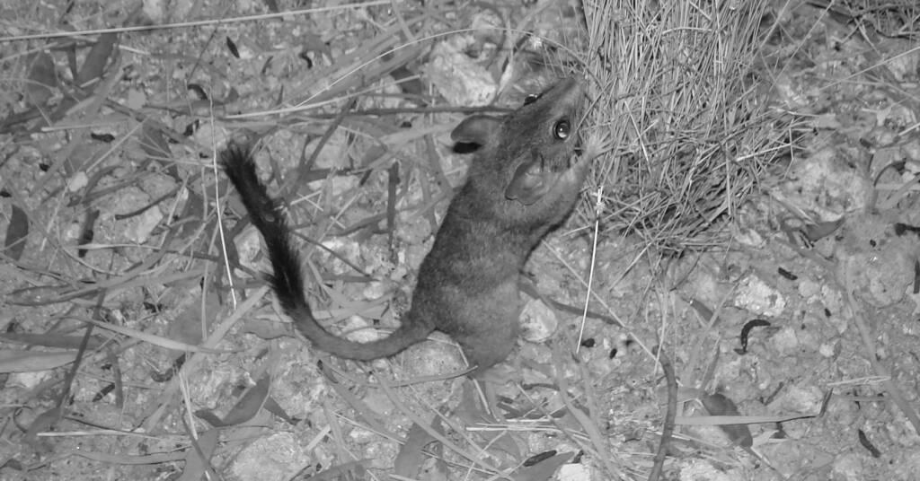 Kultarr (Antechinomys laniger), Alice Springs Desert Park