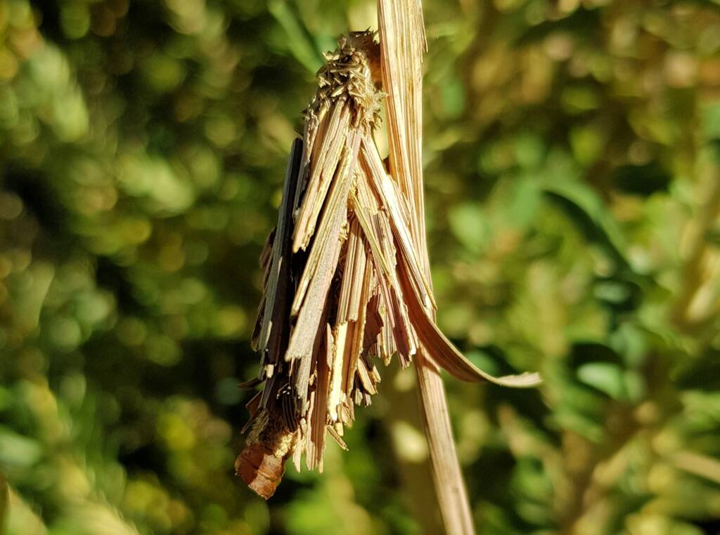 Empty casing of the Leaf Case Moth (Family Psychidae)