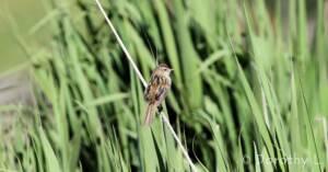 Little Grassbird © Dorothy L