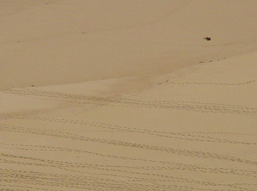 Little Penguin tracks across protected beach at London Bridge, Great Ocean Road, VIC