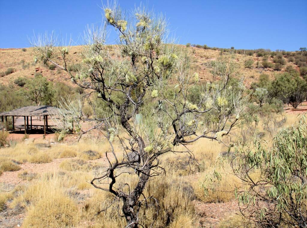 Long-leaved Corkwood (Hakea lorea), Owen Springs Reserve, NT